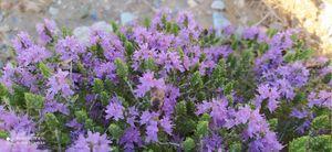 Άνθος θυμαριού Thyme flower