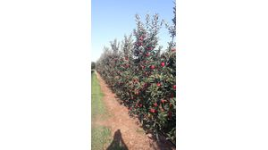 liamtsios family fruits