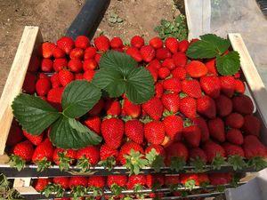 Φράουλα ποικιλίας Α10 1 κιλό - Τελάρο 5 κιλών