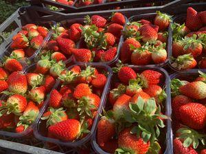 Φράουλα ποικιλίας Φορτούνα 1 κιλό - Τελάρο των 5 κιλών