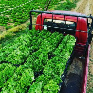 Ζγουρό μαρούλι (green salad) 1 κιλό