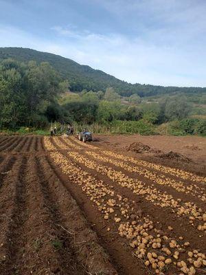 Πατάτες κιτρινόσαρκες (AGRIA)