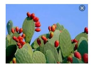 5 pcs The prickly pear