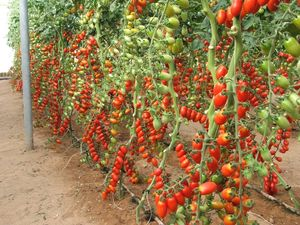 Small oval tomatoes