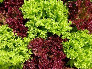 Organic lola lettuce 1kg