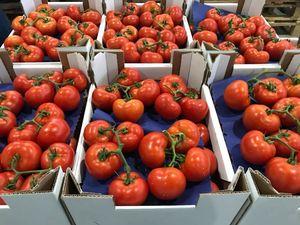 Tomatoe tozgan
