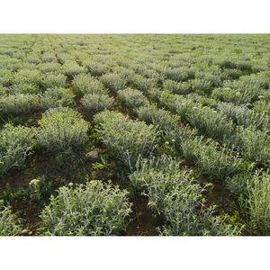 "Organic Mountain Tea ""Sideritis"" Scardica 30g"