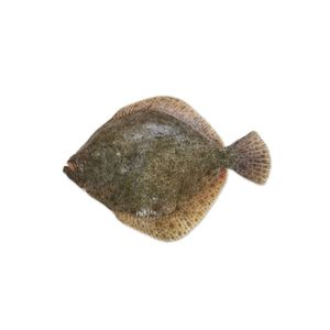 Black Sea Turbot | Καλκάνι | კალკანი (კამბულა) | Scophthalmus Maeoticus