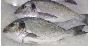 Seabream (Sparus aurata) 1kg