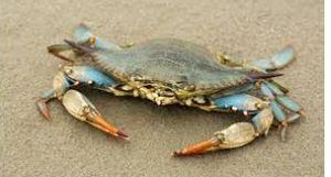 Crab (Callinectes sapidus) 1kg