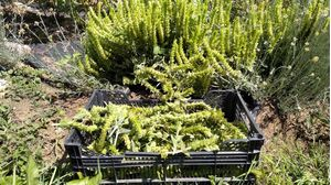 Herb Sideritis Scardica (Greek mountain tea) 30gr