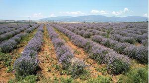 Hydrosol Lavender (flower water) 1 liter