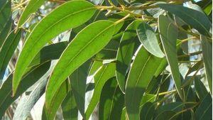 Eucalyptus Leaves - Tea