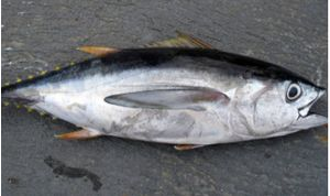 Blue fine tuna 1kg