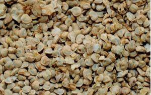 Opuntia ficus indica seeds 50 kg