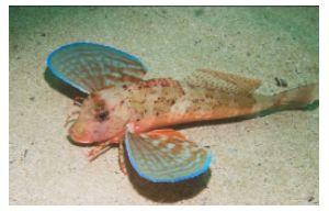 Longfin gurnard (Chelidonichthys obscurus) 1kg