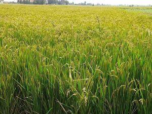 1kg Rice