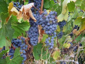 Fruit seedlings and vines