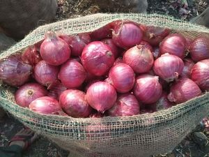 RED ONION 50 KG. JUTE BAG PACKING
