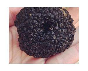 Black Truffle Tuber Uncinatum 20g