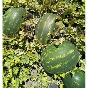 Watermelon Barrel 1 kg