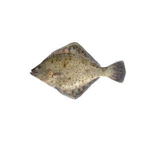 European Flounder | Φασσι | მდინარის გლოსა  | Platichtys Flesus
