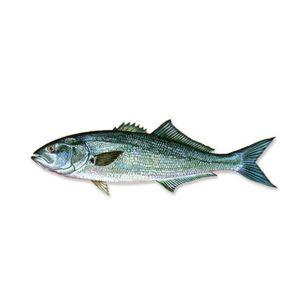 Blue Fish | Γοφαρι | ლუფარი | Pomatomus Seltatrix