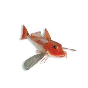 Red Gournard   Καπόνι   ზღვის მამალი   Eutirigla Gurnardus