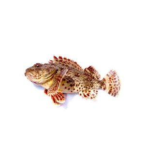 Scorpio Fish | Σκορπινα | ჩიქვი | Scorpaena Porcus