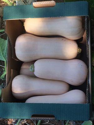 Butternut squash (Cucurbita moschata) 1 kg