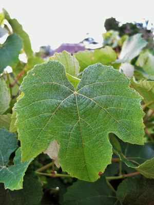 Wine leaf Powder