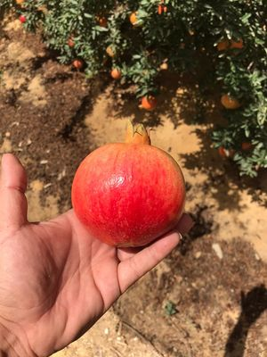 Pomegranate (variety wonderful) 1 ton
