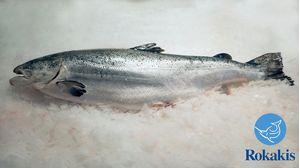 """Σολομός Υδ/γειας Νορβηγίας Ολόκληρος (6-8 kg) """"Salmo salar"""" τιμή κιλού"""