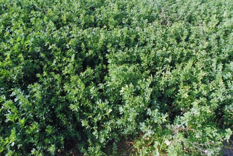 Alfalfa Fertilizer Requirements
