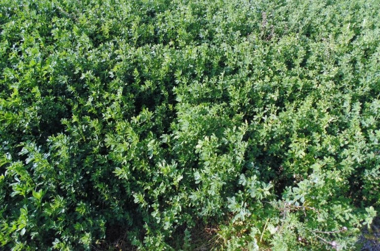 Alfalfa Soil Requirements - Variety Selection - Weed Management