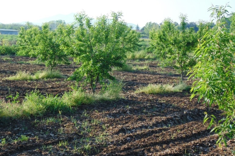 Almond Tree Diseases & Pests