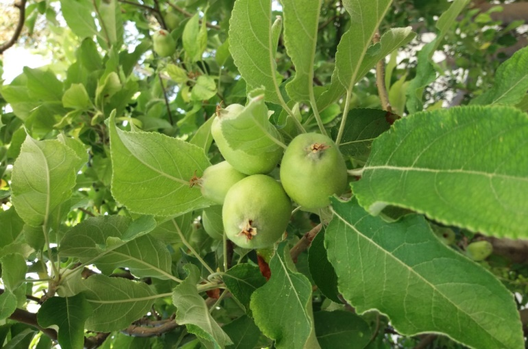 When and How to harvest Apples