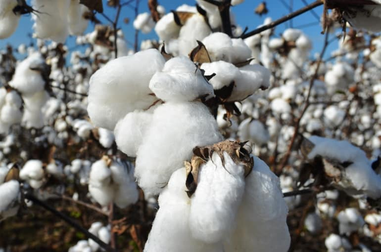 Cotton Harvesting and Yields