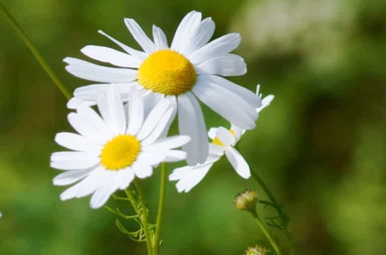 German Chamomile Info and Uses