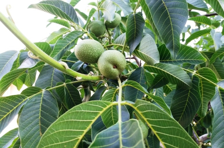 Growing Walnut Trees for Profit