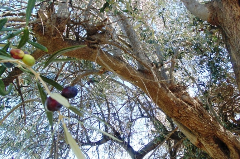 How and When to harvest Olives