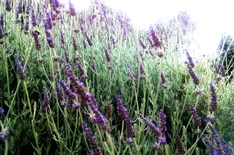 Growing Lavender Backyard
