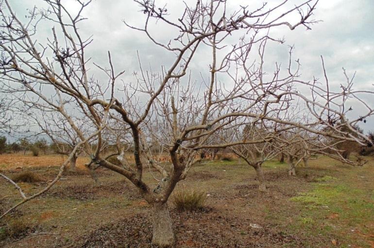 Pistachio Tree Irrigation