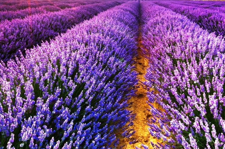 Lavender Plant Info and Uses