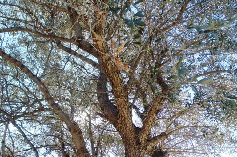 Olive Tree Climate Conditions