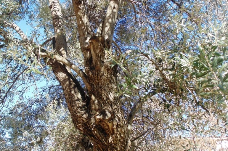 Olive Tree Pests and Diseases