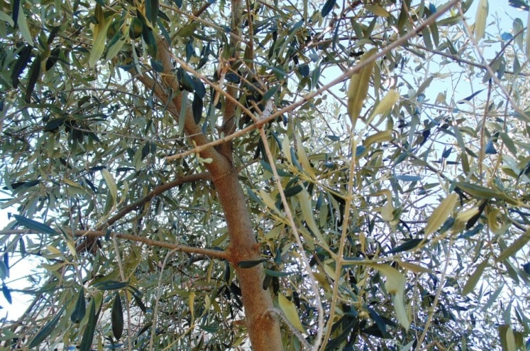 How to prune Olive Trees