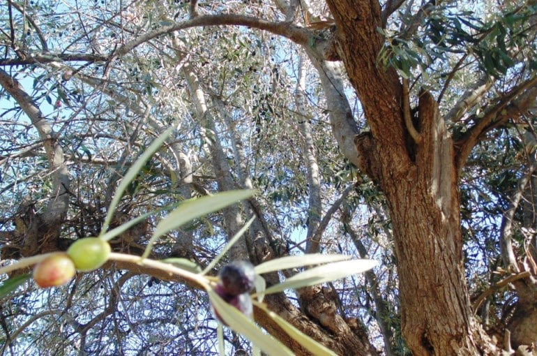 Olive Tree Water Requirements