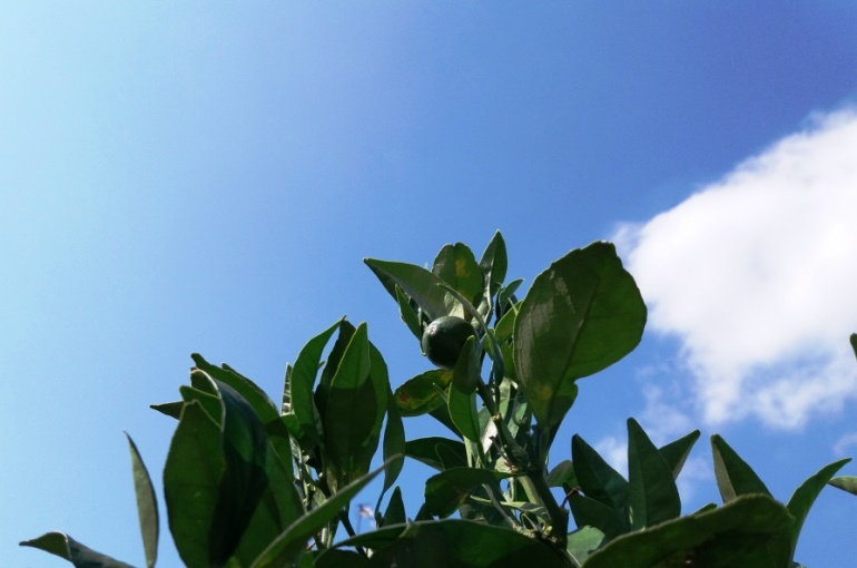 Orange Tree Climate and Soil Conditions