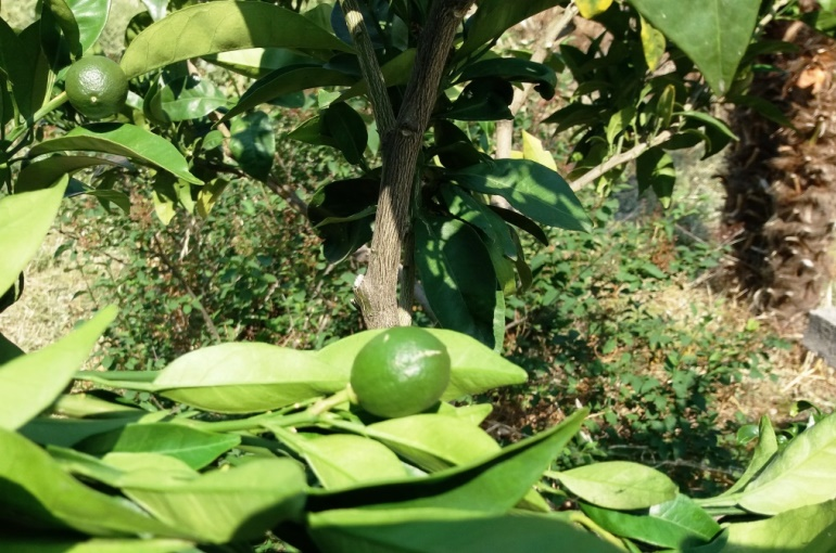 How to propagate and Pollinate Orange Trees